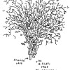 Biggest Tree in Manchester drawn by Jason Polan