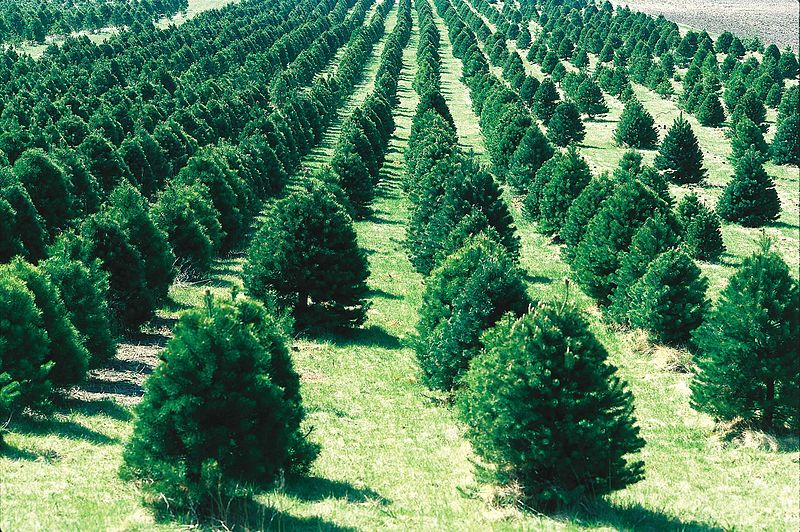 Christmas Tree Farms and Local Sales