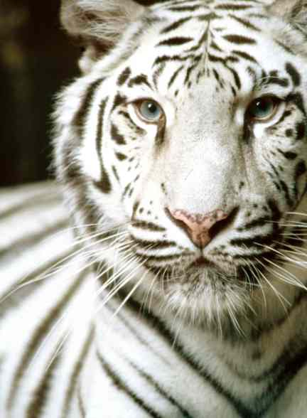 White Tiger Image, courtesy of Wikipedia