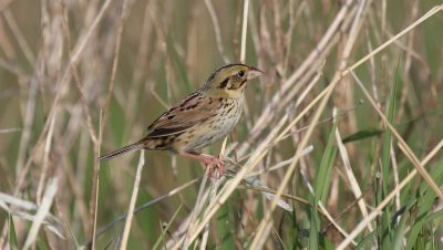 Hens low's Sparrow is an endangered grassland bird found in the Sharonville State Game Area. In addition to protecting game birds, one of the DNR's goes is to protect this and other species popular with birders.