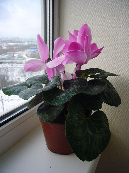 House plants like this Cyclamen sp. need the light coming through the windows in the winter, but don't let their leaves touch the cold glass.